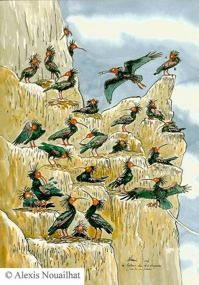 la colonie des ibis chauves Maroc