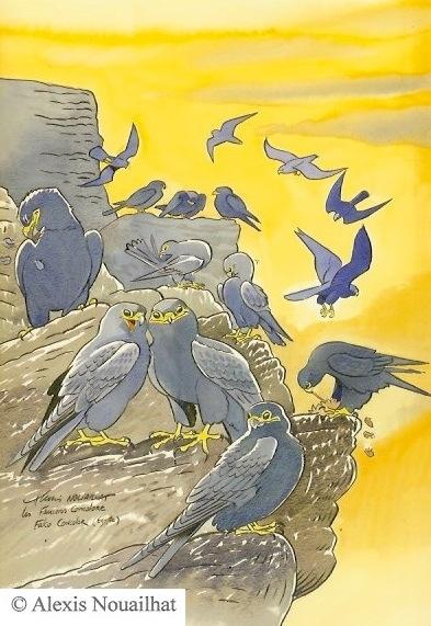 les faucons concolores