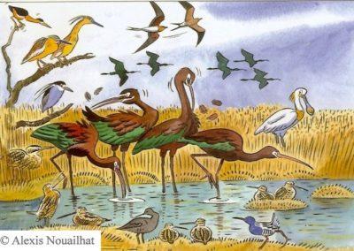 les ibis falcinelles