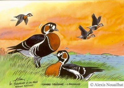 les bernaches à cou roux en migration