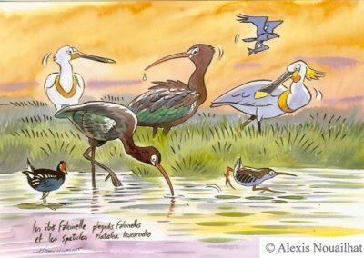 les ibis falcinelles et les spatules